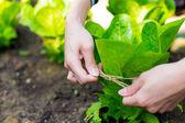 Cultivate lettuce vegetable — Foto de Stock