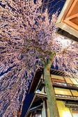 Sakura tree and wooden building from low angle — Stock Photo