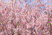 Sakura tree with blue sky — Stockfoto