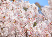 Sakura tree over blue sky — Stock Photo