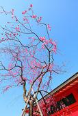 樱花树 — 图库照片