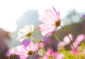 Purple daisy under sunlight — 图库照片