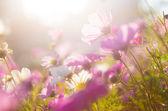 Kamille in lila — Stockfoto