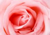 Pink rose texture — Stock Photo