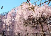 Sakura with stand — Stock Photo