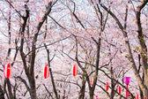 Sakura tree with red lantern — Stock Photo
