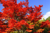 Red maple tree — Stock Photo