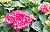 Hydrangeas flower — Stock Photo