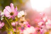 Cosmos flowers under sunlight — Stock Photo