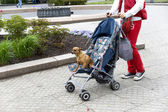 Walk with a small doggie in a baby carriage. — Stock Photo