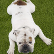 Bulldog Lying On Grass - Stock Photo