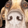 Closeup Of Great Dane — Stock Photo