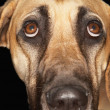 Portrait Of Great Dane — Stockfoto