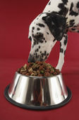 Dalmatian Eating Food From Bowl — Stock Photo