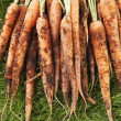 Muddy Carrots On Grass - Stock Photo