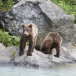 Stock Photo: Two Brown Bears Beside River