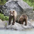 Two Brown Bears Beside River - Stock Photo