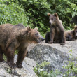 Stock Photo: Bears On Rocks