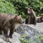 Bears On Rocks — Stock Photo
