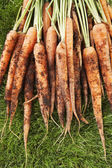 Muddy Carrots On Grass — Stock Photo