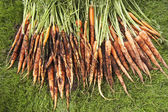 Freshly Picked Carrots On Lawn — Stock Photo