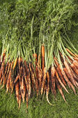 Muddy Carrots On Lawn — Stock Photo