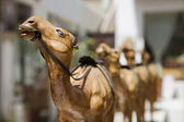 Wooden Carved Camels For Sale — Stock Photo
