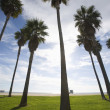 Tall Palm Trees at Beach — Stock Photo #21870099