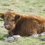 Scottish Highland Breed Calf — Stock Photo
