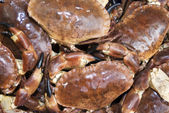 Fresh Dungeness Crabs — Stock Photo