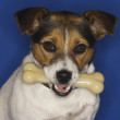 Jack Russell Terrier With Bone - Stock Photo
