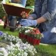 Woman Planting Flowers - Stockfoto