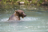 Bear Swimming In River — Stock Photo