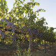 Stock Photo: Grapevines in Fertile Valley