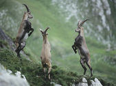 Rearing Alpine Ibexes — Stock Photo