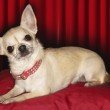 Chihuahua lying on red pillow — Stock Photo #33821213
