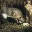 Stock Photo: Weasel Stealing Eggs from Nest