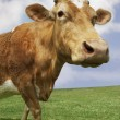 Brown cow walking in field — Stock Photo #33823855