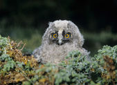 Owlet — Stock Photo