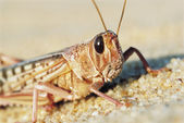 Desert Locust — Stock Photo