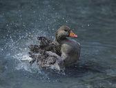 Duck Splashing in Water — Stock Photo