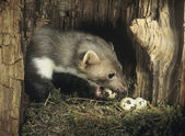 Weasel Stealing Eggs from Nest — Stock Photo