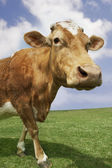 Brown cow walking in field — Stock Photo