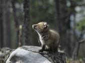 Fox Cub — Stock Photo