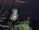 Owl Perching on Tree Branch — Stock Photo