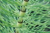 Horsetail Stem (Equisetum) — Stock Photo