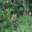 Stock Photo: Fox Standing by Bushes