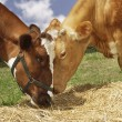 Brown cows eating hay — Stock Photo #33837931
