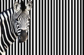 Zebra on striped background — Stock Photo