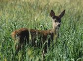 Roe deer in cereal field — Stok fotoğraf